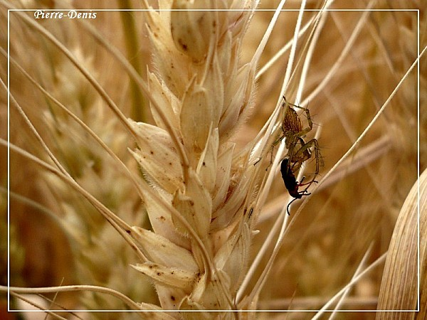 Araignée blé
