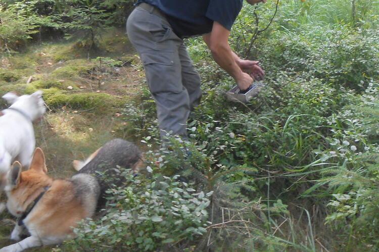 Cueillette de myrtilles en Ardennes
