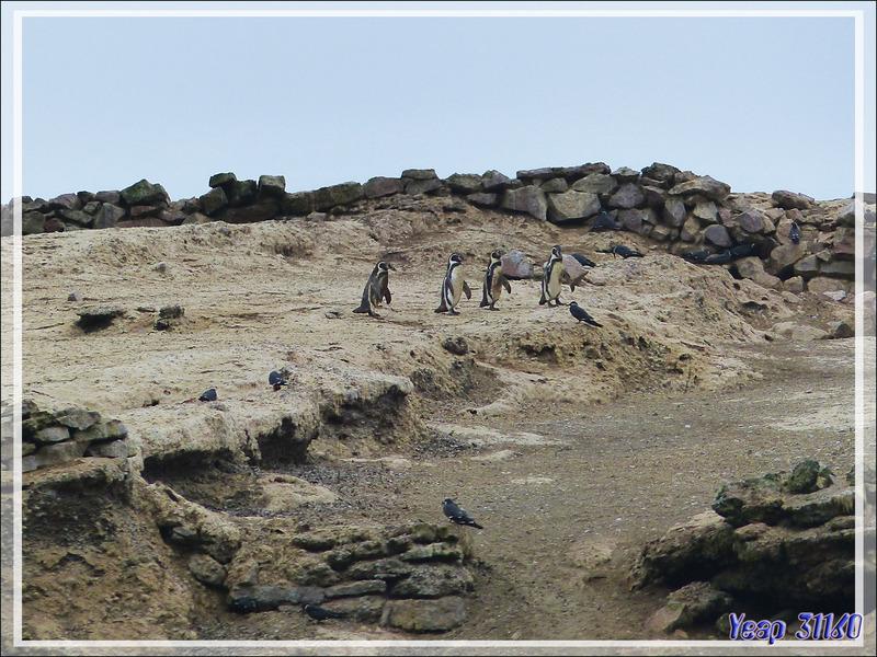 Manchot de Humboldt (Spheniscus humboldt) - Iles Ballestas - Pérou
