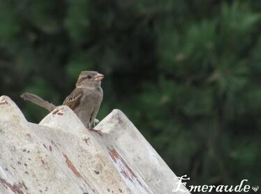 Photo Oiseaux, moineaux - 11.05.15 - 03