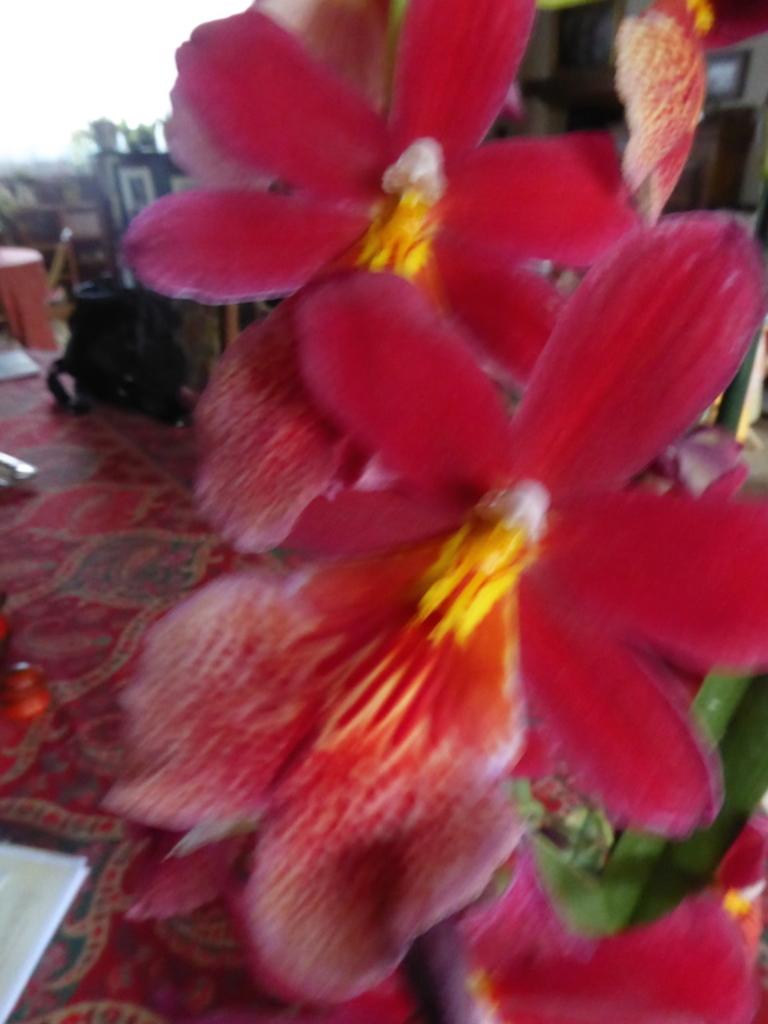 L'Orchidée de ma fête: Cambria.