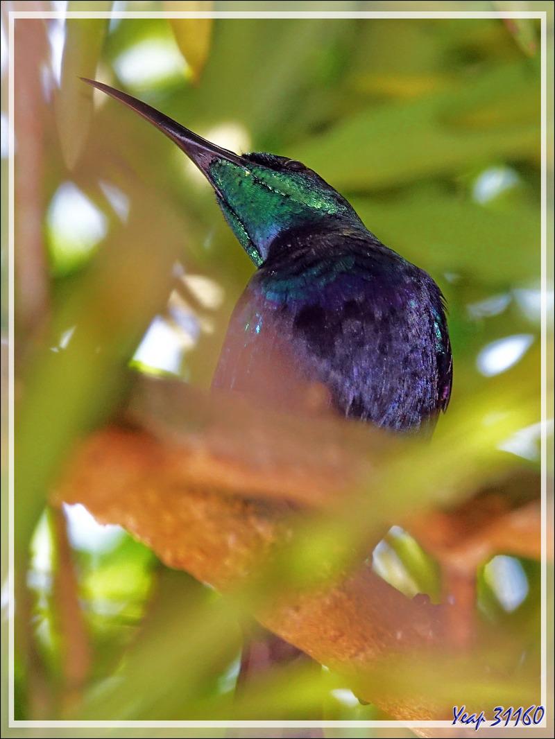 Souimanga malgache, Souimanga Sunbird (Cinnyris sovimanga) - Nosy Be - Madagascar