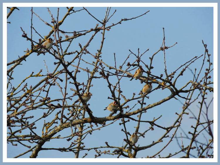 Oiseaux de nos jardins.Images gratuites.Tarin des aulnes.Mésange Charbonniere.Chardonneret élégant.