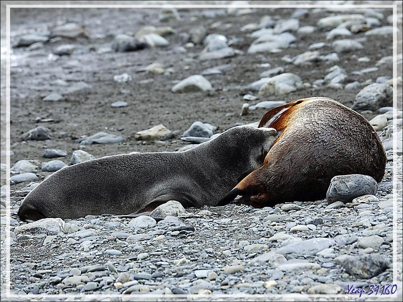 Otarie à fourrure antarctique ou Otarie de Kerguelen (Arctocephalus gazella) : ça biberonne un peu partout ! - Whistle Cove - Fortuna Bay - Géorgie du Sud