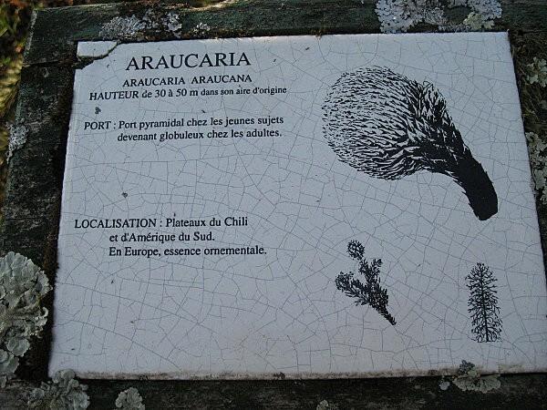 arborétum chamberet -l' araucaria -