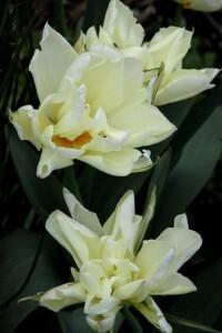 Tulipes Exotic Emperor5
