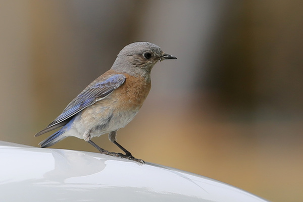 Western Bluebird - Long beach