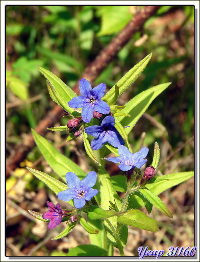 Grémil pourpre-bleu (Lithospermum purpurocaeruleum) - Aurignac - 31  (Flore)