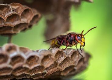 The Dangers of Asian Hornet