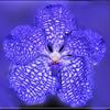 Une des plus belle des orchidées - Ochidée Vanda.jpg