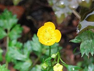 fleur-de-bouton-d-or.jpg