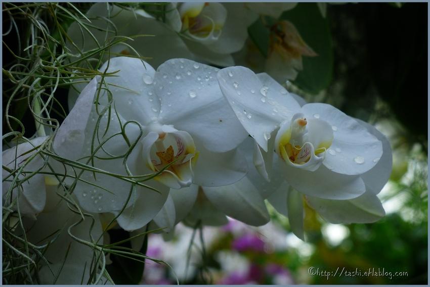 Festival des orchidées, suite (3)