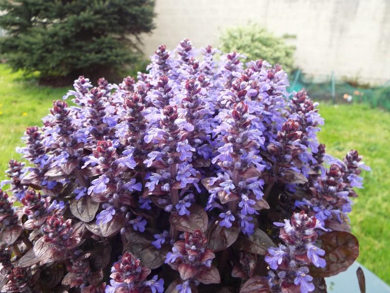 Pléiade fleurie en fin d'hiver ...