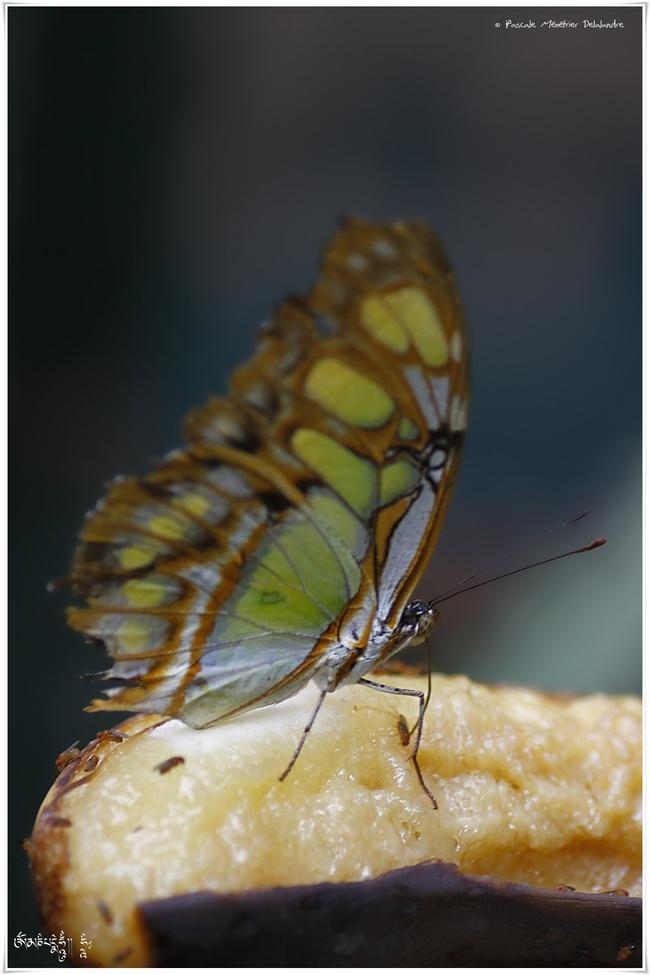 Malachite - Siproeta stelenes - Nymphalidae - Costa Rica