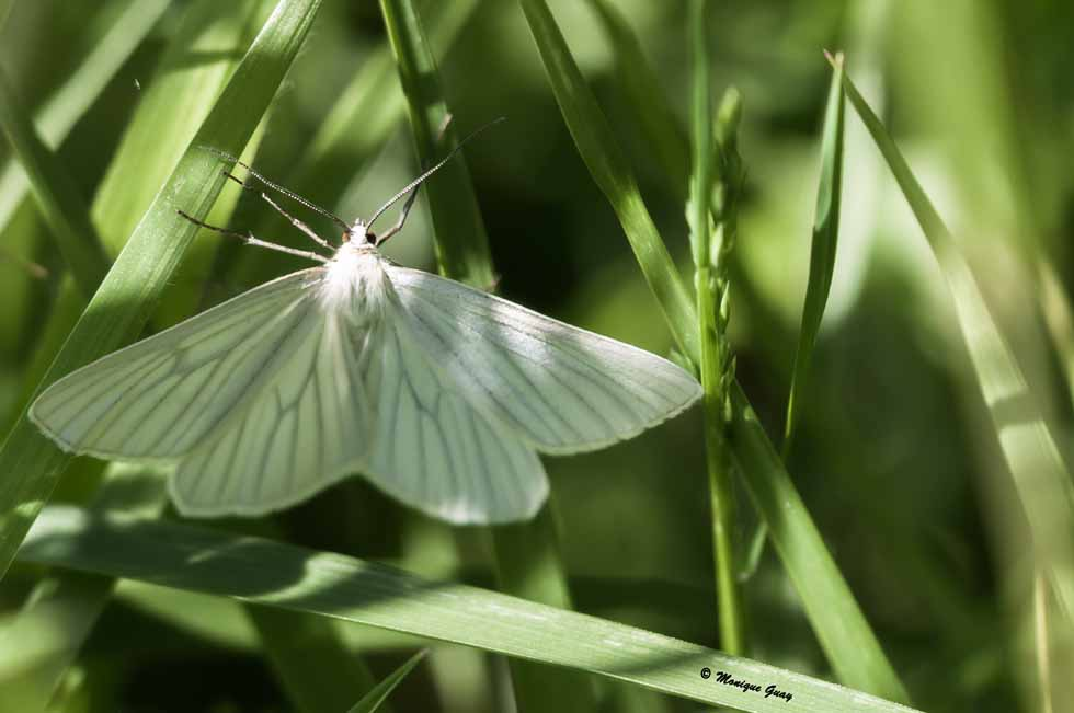 Papillon Phalène blanche