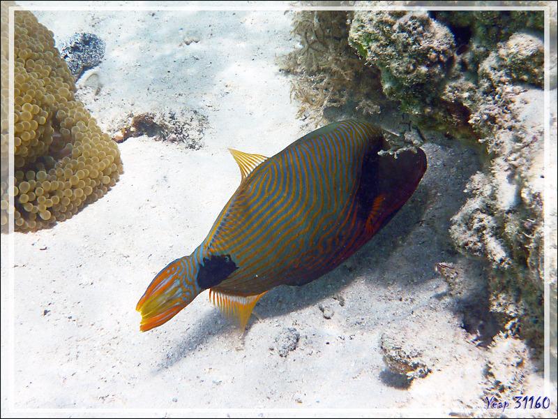 Baliste strié ou ondulé, Orange-lined or undulate triggerfish (Balistapus undulatus) - Moorea - Polynésie française
