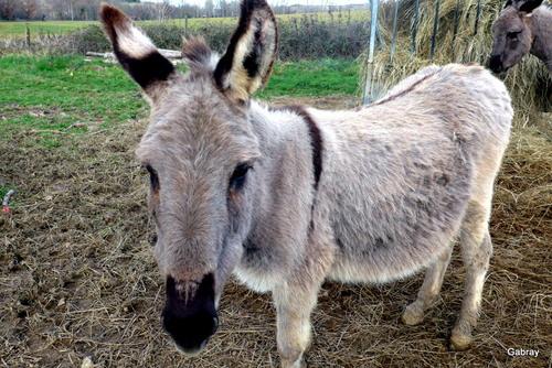 Nailloux : les ânes de la Thésauque ... n 1