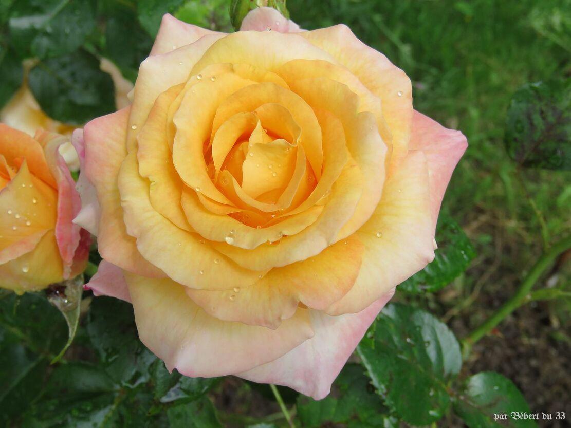 Roses jaune au jardin