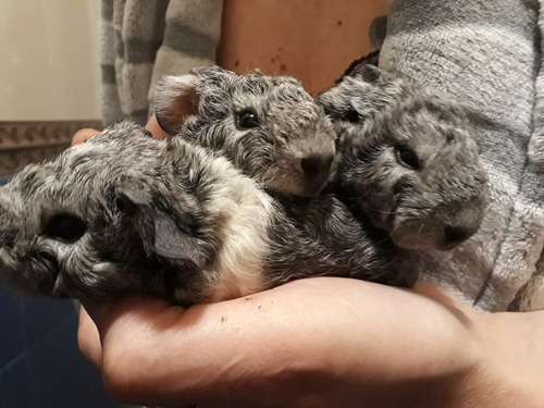 naissances de petits cochons
