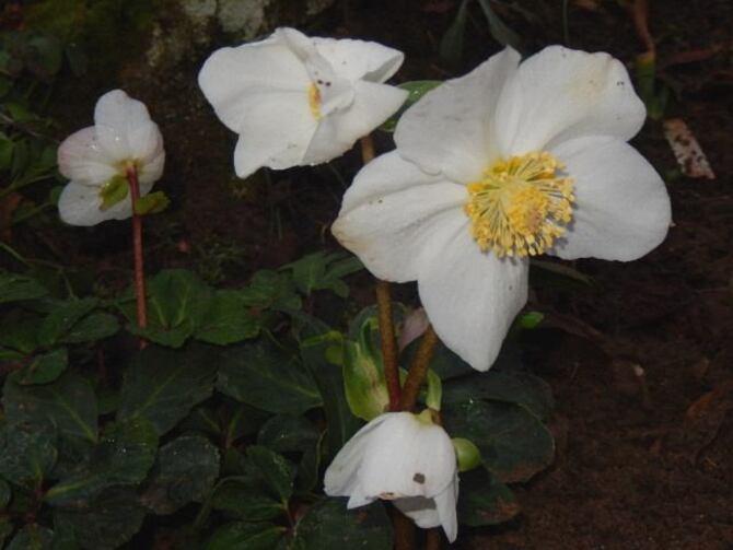 Souvent maltraité et toujours fleurie