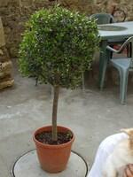 olivier n°1