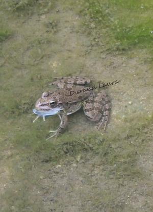 Grenouille Verte ou Rana Esculenta