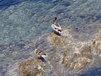 Ce couple de canards a l'air d'apprécier les bains de mer