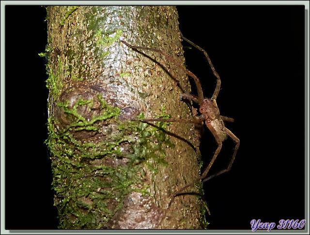 Blog de images-du-pays-des-ours : Images du Pays des Ours (et d'ailleurs ...), Araignée en chasse nocturne - La Palma - Puerto Jiménez - Costa Rica