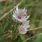Grande Astrance (Astrantia major) - Famille : Apiaceae