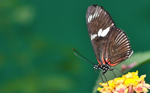 Papillons de l'île (8)
