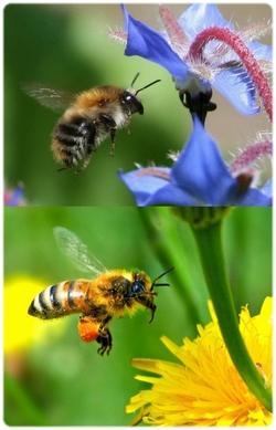 L'abeille disparait