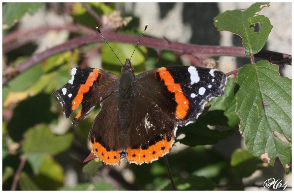 Papillon : Vulcain (Vanessa atalanta)
