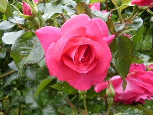 Le duel des deux roses