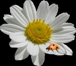 Fleurs d'Anthémis