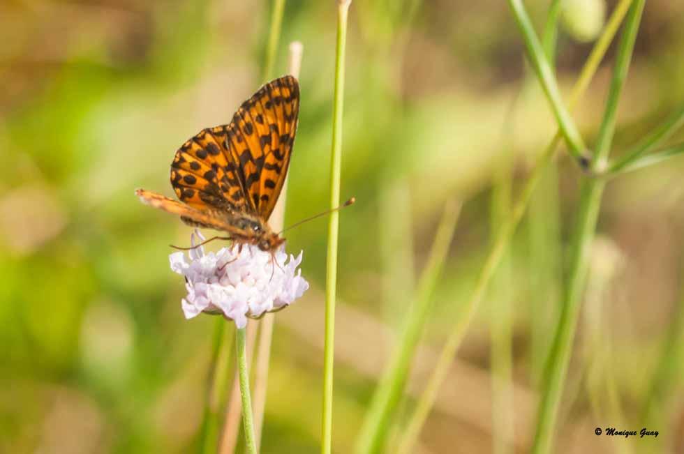 Papillon Petite Violette