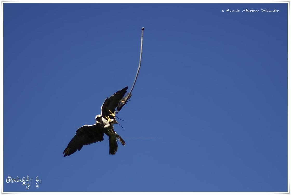 Faucon lanier - Falco biarmicus - Lanner Falcon