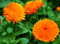 soucis orange