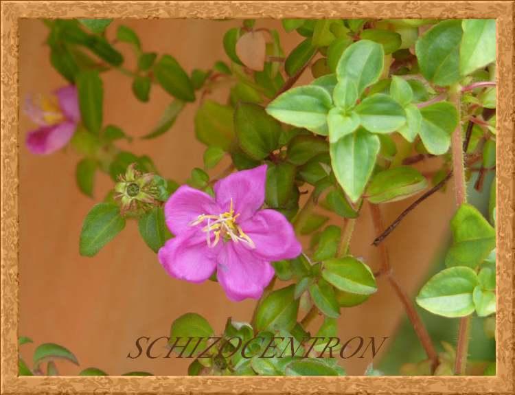 Plantes d'Intérieur - SCHIZOCENTRON - (Mélastomatacées)
