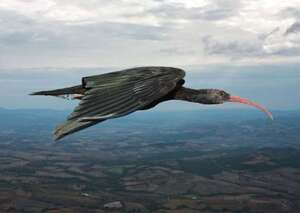 Ibis chauve (Geronticus eremita)