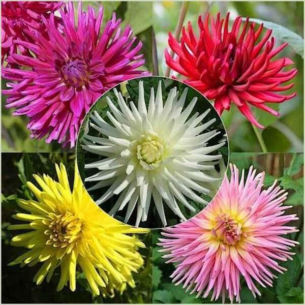 Fleurs cultivées : Dahlia