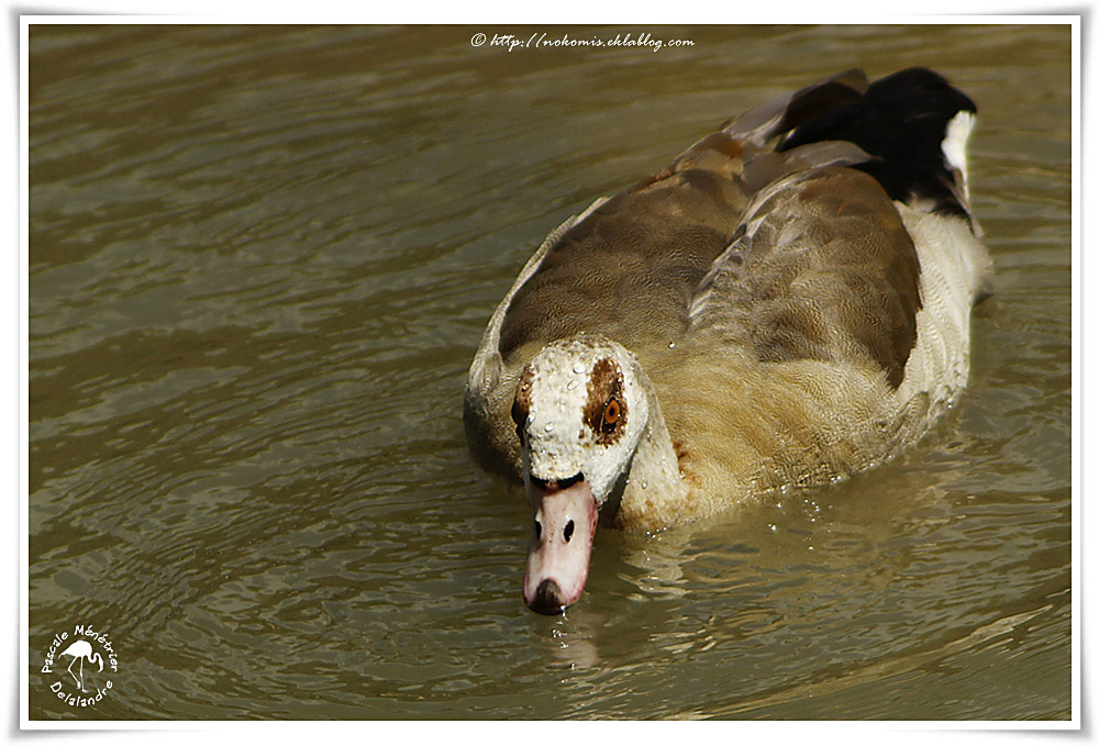 Ouette d'Égypte - Alopochen aegyptiaca - Egyptian Goose