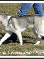 Ouchka (9 mois), à la Nationale d'élevage du Husky
