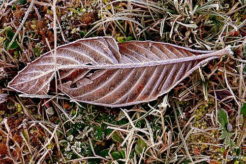 Feuilles et herbes gelées ...