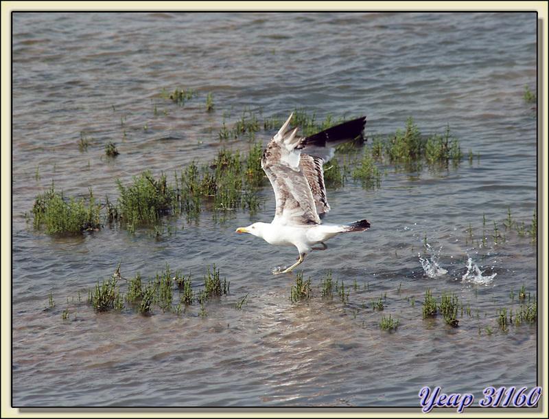 L'envol du goéland: splash, splash, splash.... - Ars-en-Ré - Ile de Ré - 17