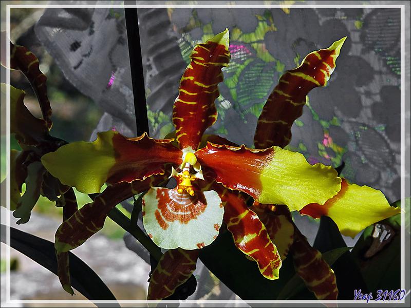 Orchidée Rossioglossum grande et son éperon - Lartigau - Milhas - 31