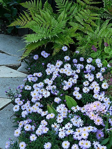 Asters-nains---fougere-P1310277.JPG