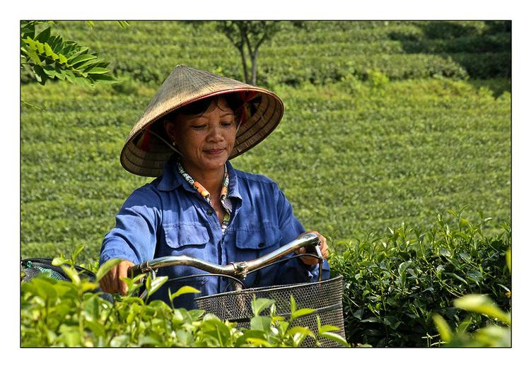 Rencontres dans les champs de thé
