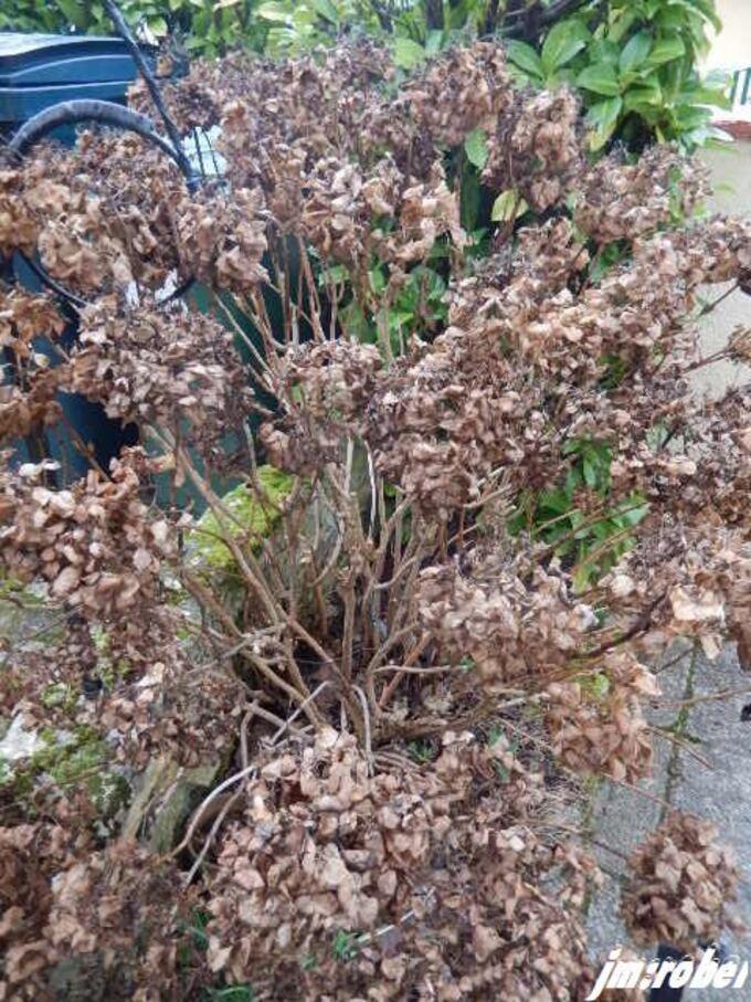 Si on parlait de l'Hydrangea macrophylla