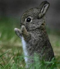 Le lapin de garenne adulte