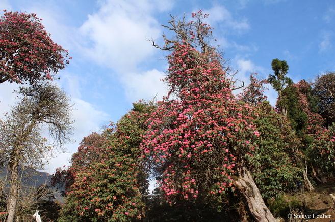 Poon Hill : levé de soleil et rhododendrons
